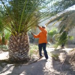 Affordable Tree Service Crew Member Palm Tree Trimming