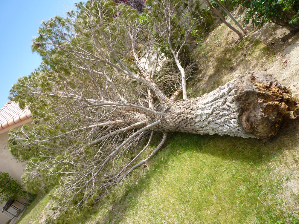 Large Fallen Pine Tree After Storm