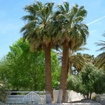 Washingtonia Falifera (California Palm Tree)