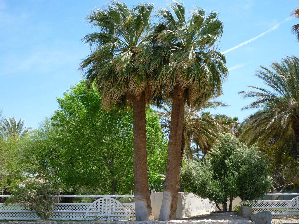 California Fan Palms are very similar to Mexican Fan Palms except they
