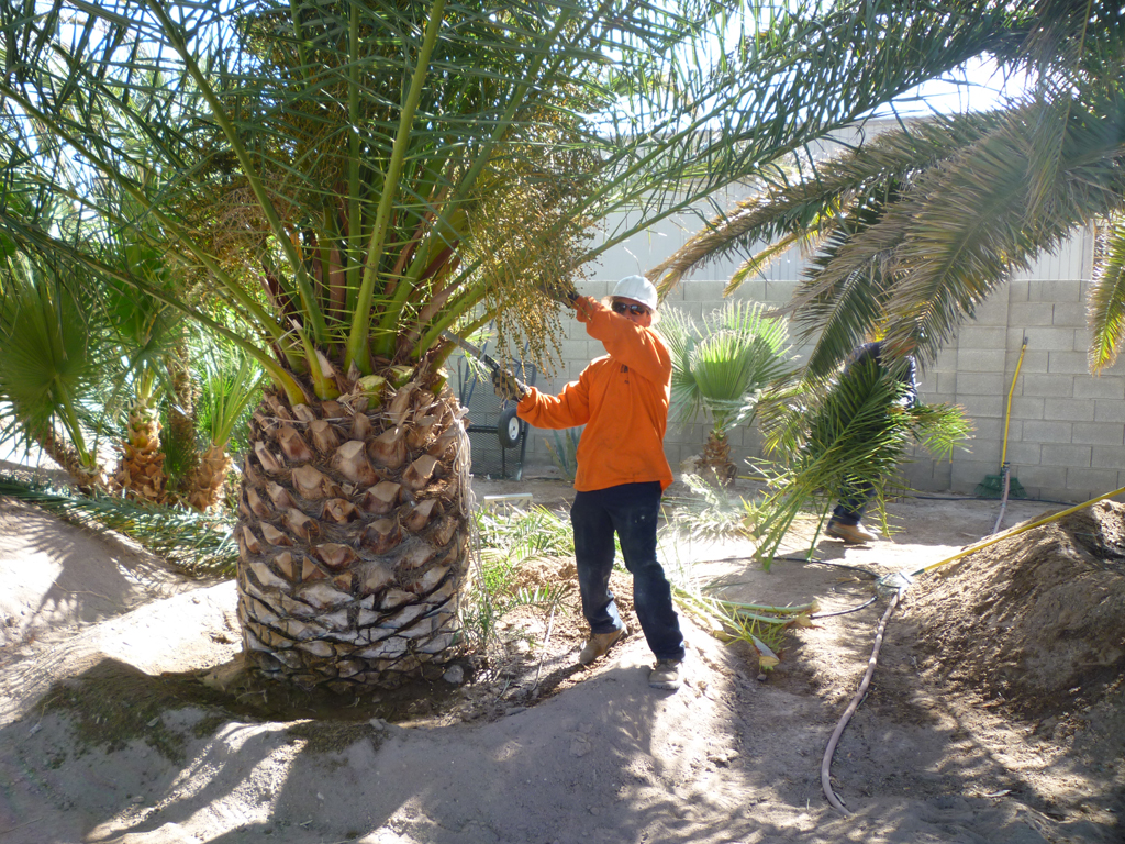 Affordable Tree Service Canary Palm T