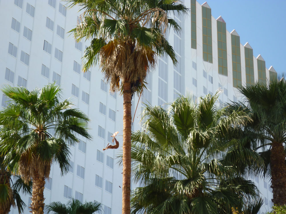 Commercial Palm Tree Trimming