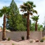 Washingtonia Robusta (Mexican Fan Palm)