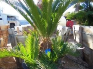 028 12 sago palm affordable tree service las vegas nv. Black Bedroom Furniture Sets. Home Design Ideas