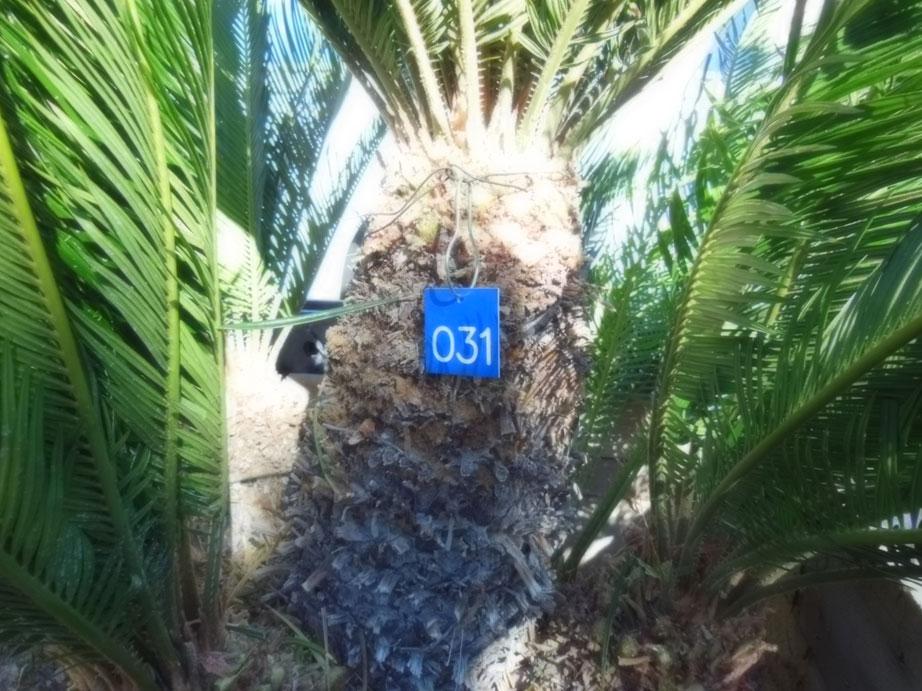 031 3ft sago palm affordable tree service las vegas nv. Black Bedroom Furniture Sets. Home Design Ideas