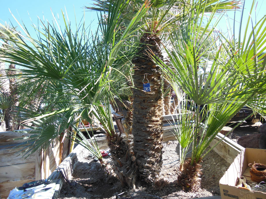 063 3ft Mediterranean Palm 171 Affordable Tree Service Las