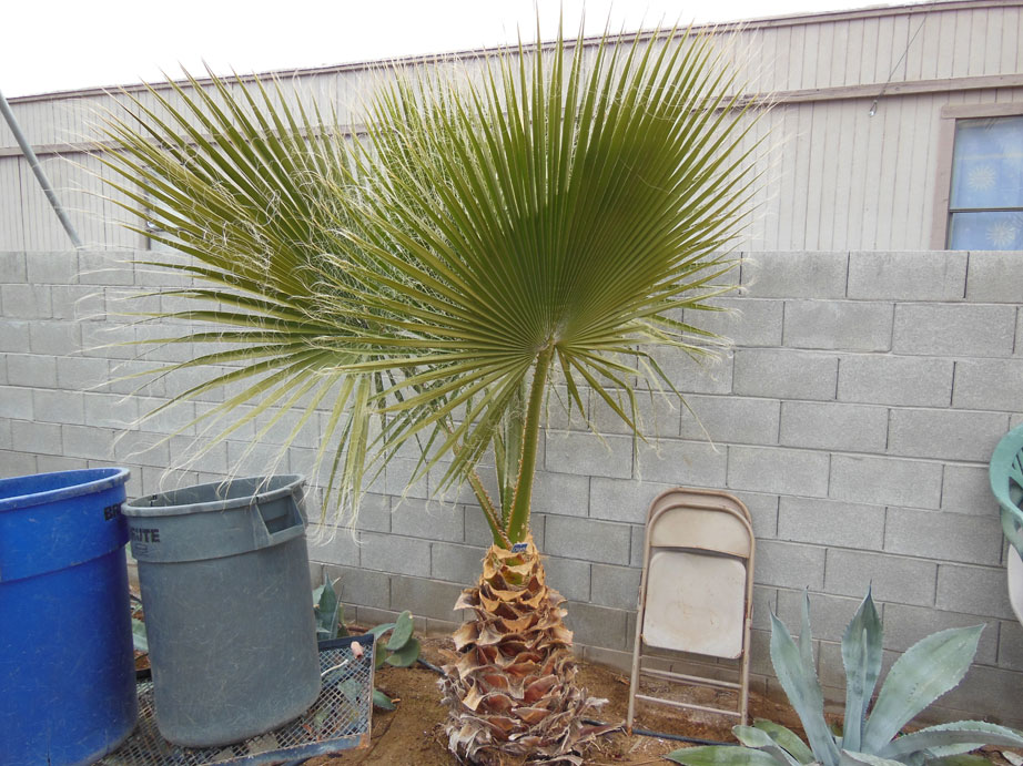 098 3ft Mexican Palm 171 Affordable Tree Service Las Vegas Nv