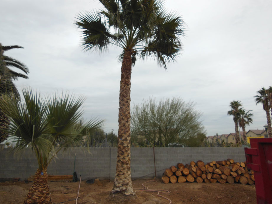 089 15ft Mexican Palm 171 Affordable Tree Service Las