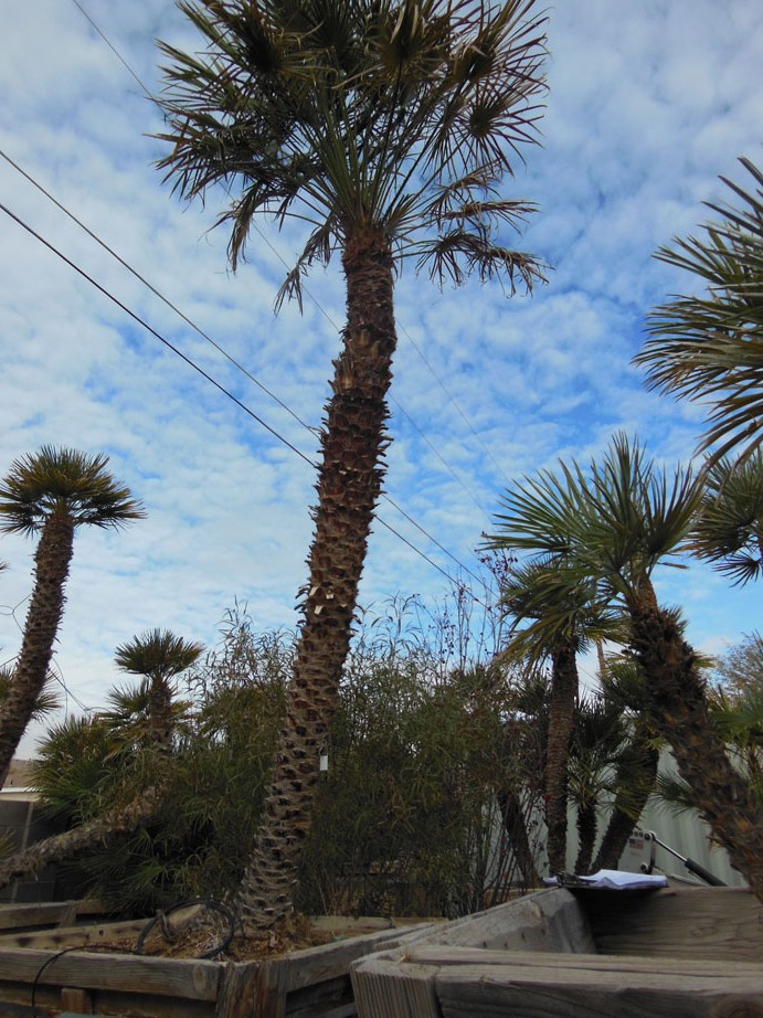 068 9ft Mediterranean Palm 171 Affordable Tree Service Las