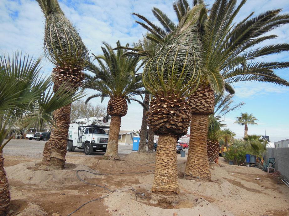 Palm Tree 094