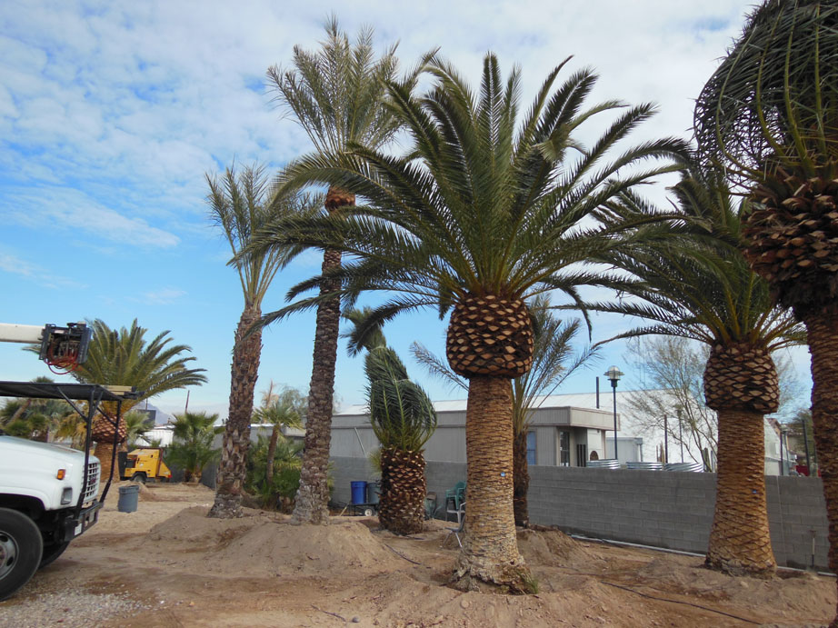 092 12ft canary palm affordable tree service las vegas nv
